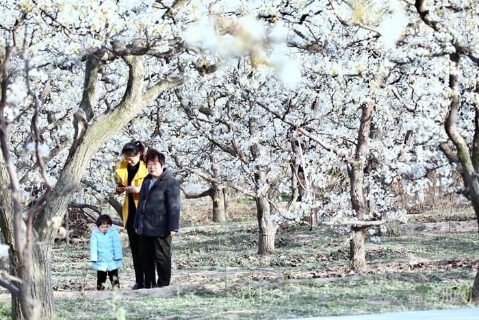 千树梨花千树雪—阳信万亩梨园风景区梨花吐蕊绽蕾