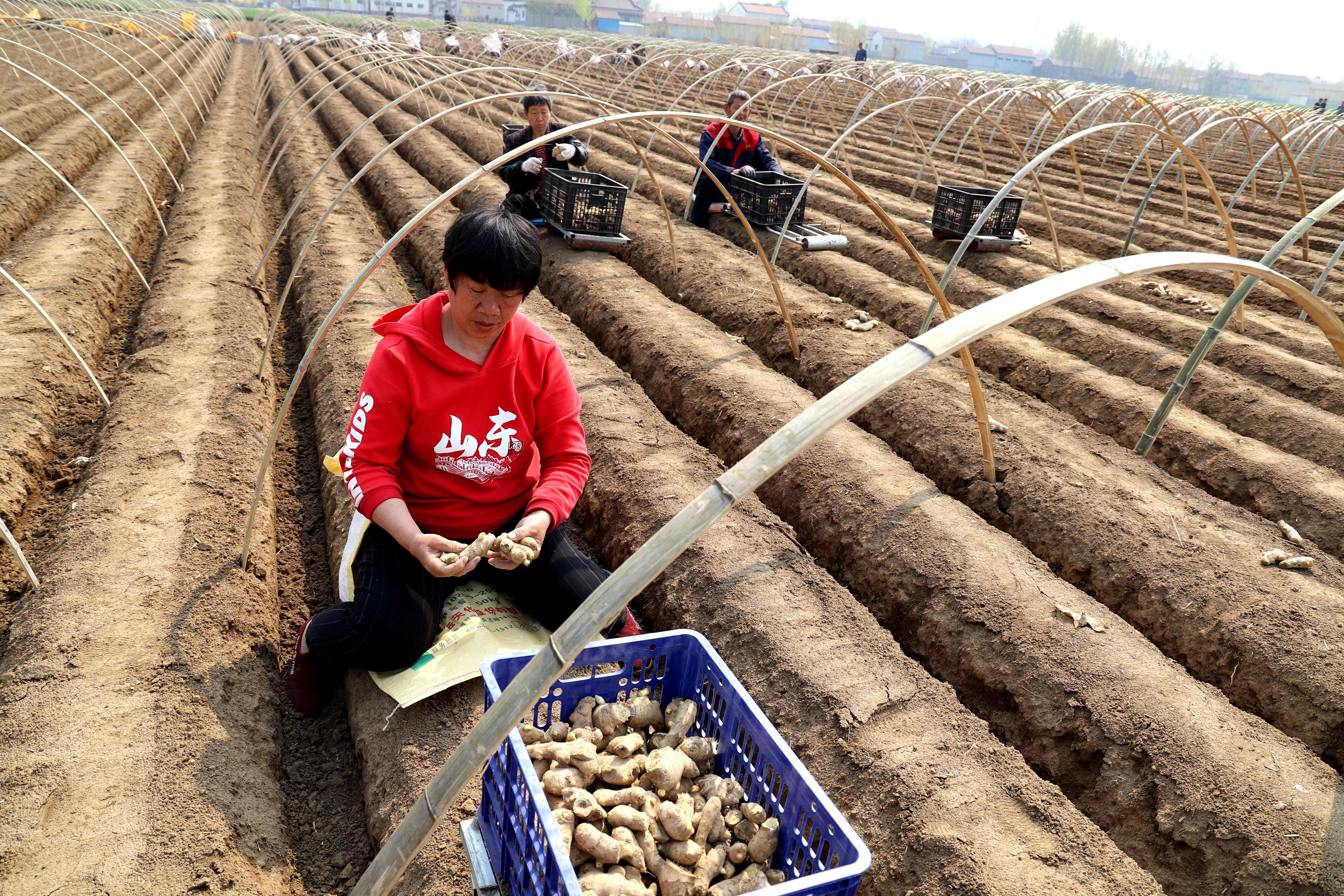 青阳镇发展生姜种植  增加群众收入