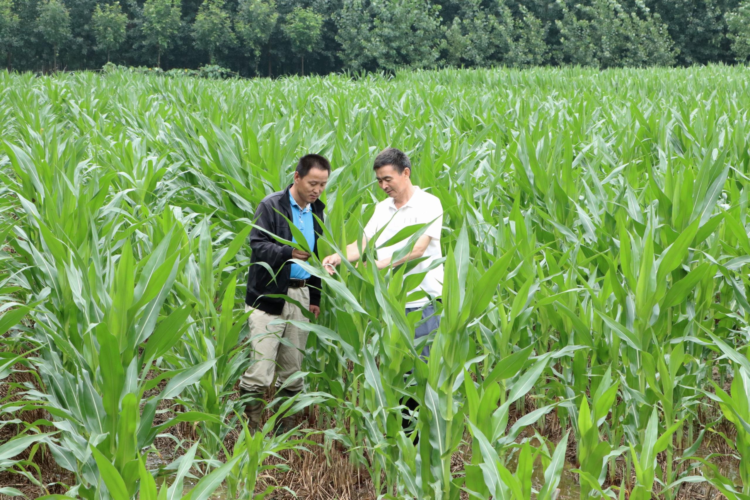 台风过后,皂户李镇农技人员到田间指导农业生产