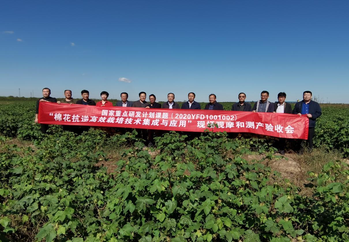 无棣盐碱地棉花栽培新技术实现节本增产