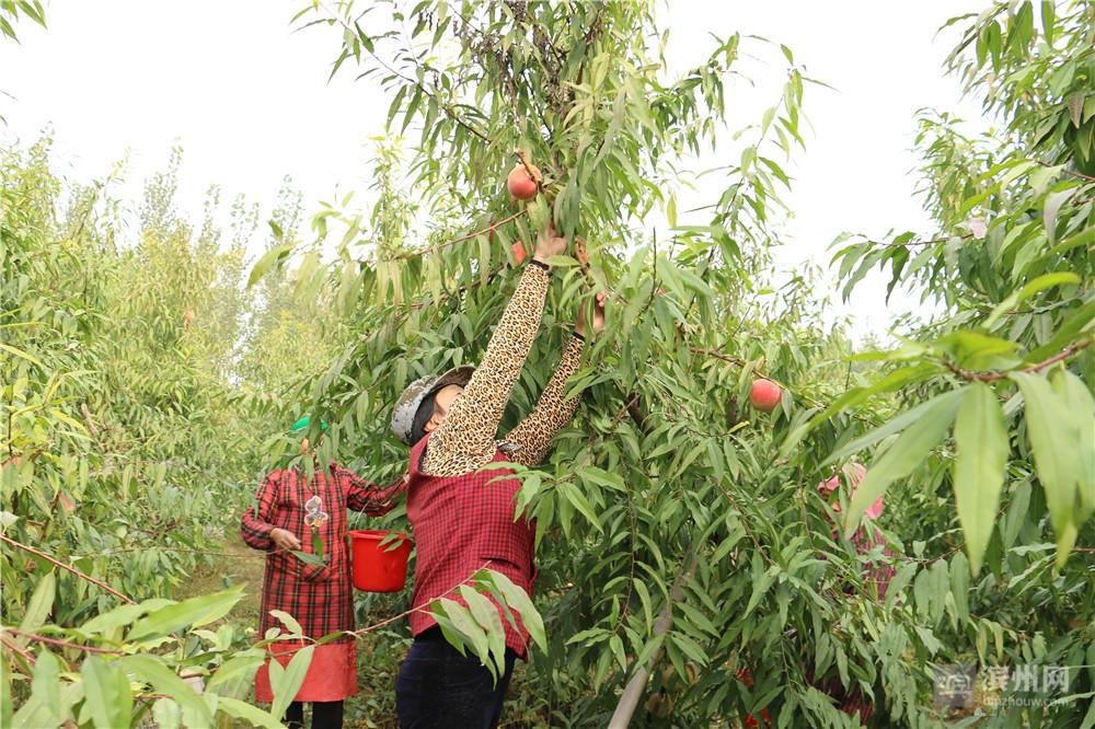 这个桃园种植到今年已经是第4个年头,桃树开始进入丰产期,品质会更加稳定,同时耐储存耐运输。