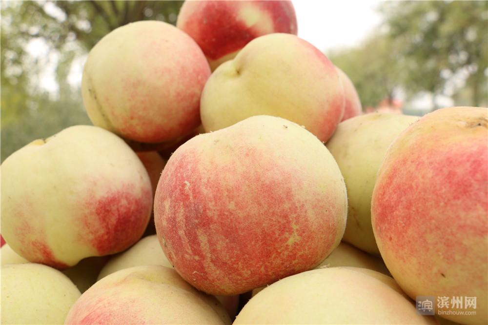 在码头镇黄河大坝上刘桥村种植面积100余亩的黄河蜜桃成熟了。这里的桃子主要为映霜红桃子、金秋红密两个品种,是吃大豆喝黄河水长大的,亩产3500公斤左右,年收入在7000元左右。